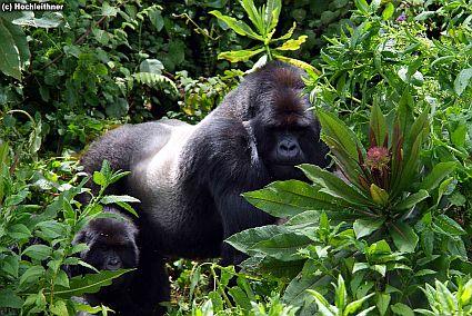 mountain gorillas 3 518 kl 45