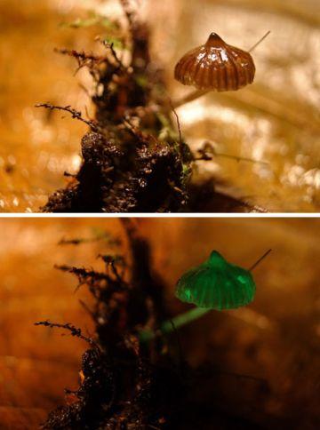 new bioluminescent mushrooms found2 9