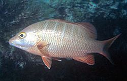 new species of snapper 9