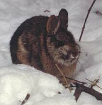 new england cottontail rabbits