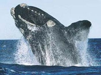 north pacific right whale 9