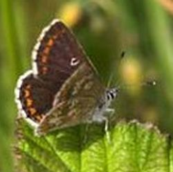 northern brown argus butterfly 9