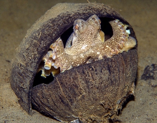 recycling octopus uses coconut shells to build a home