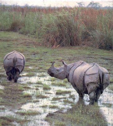 one horned rhino in kaziranga 9