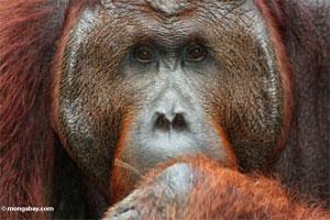 orangutan apes 246