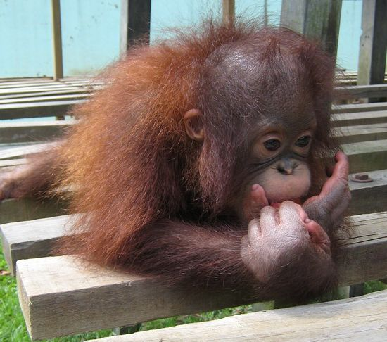 orangutans vanishing svlvo 5965