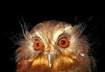 owl2 2196
