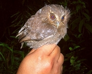owl 2196