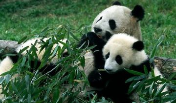 panda droppings now can be lucrative
