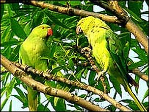 parakeets in london 2411