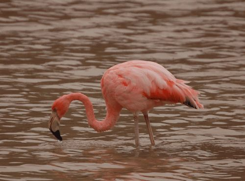how to say flamingo in french