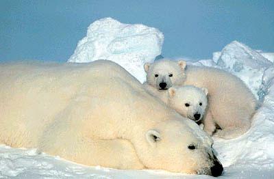 polar bear5