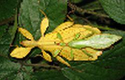present day leaf insect phyllium giganteum 9