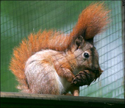 red squirrel 3821