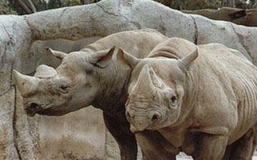 rhino 9
