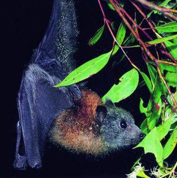rodriguez fruit bat pteropus 9