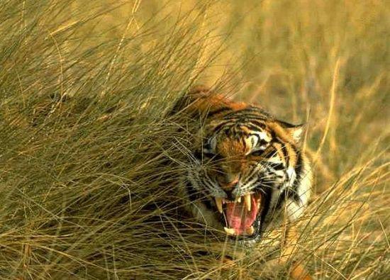 royal bengal tiger of sunderbans
