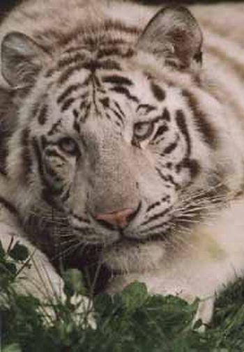 royal white bengal tiger2