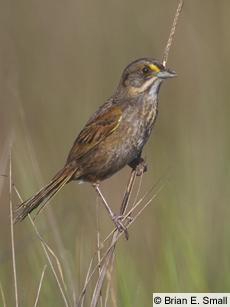 seaside sparrow threatened
