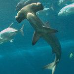 shark1 3821