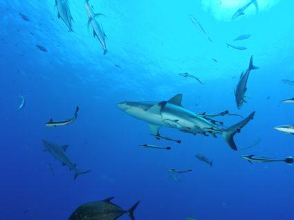 shark 191