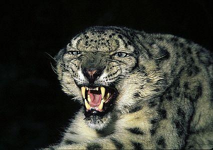 snow leopard1 45