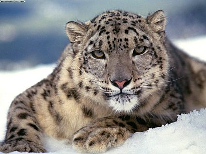 snow leopard6 45