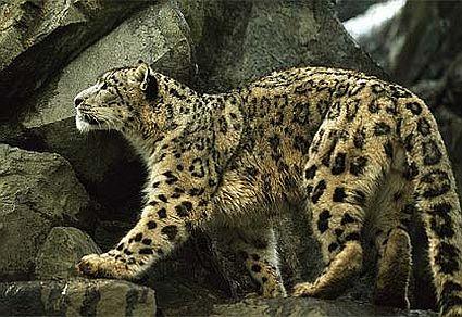 snow leopard 45