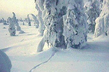 snowy latitude forest 9