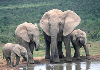 south african elephant 9