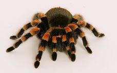 spider 3342