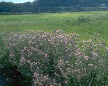 spotted knapweed inaded livestock forage 9