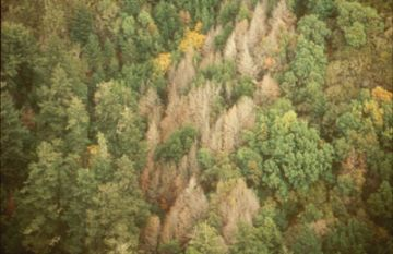 sudden oak death causing mortality on tanoak in ca