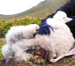 the albatross chicks stand 1 metre 9