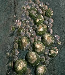 the antarctic limpets cant grow as quickly as thei