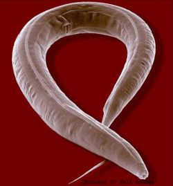 the soil dwelling nematode worms 9