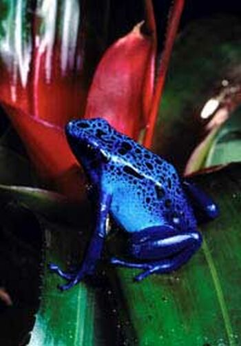 the blue poison frogdendrobates azureus