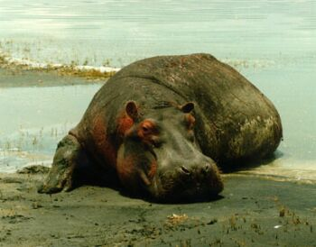 the common hippopotamus hippopotamus amphibius