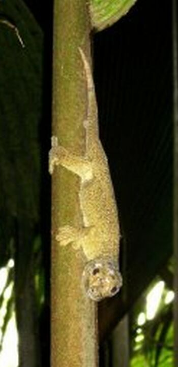 the giant bronze gecko ailuronyx trachygaster