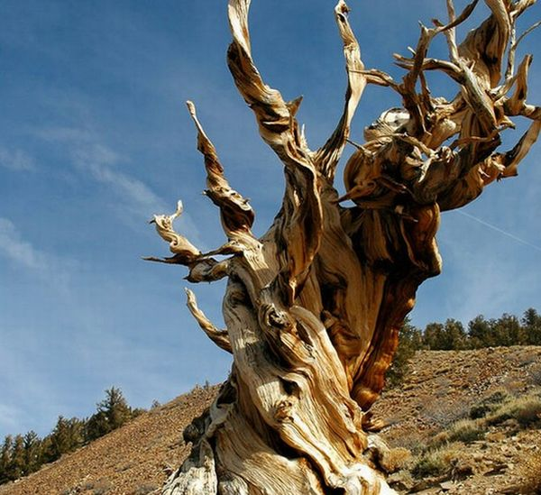 The Methuselah Tree, California