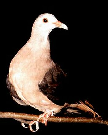 the pink pigeon nesoenas mayeri