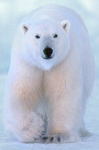 the polar bear ursus maritimus