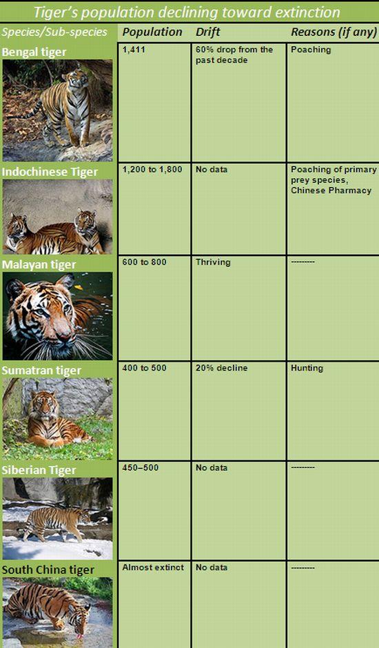 tiger species 2