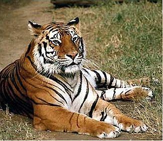 tigers3 1822
