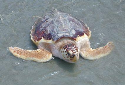 turtles 1822