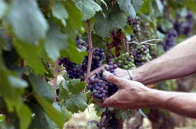 vineyards 3858