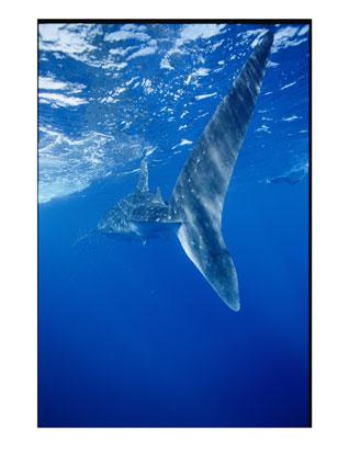 whale sharks 3821