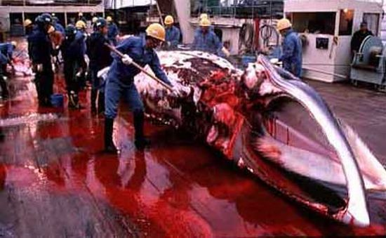 whaling continues depite ban