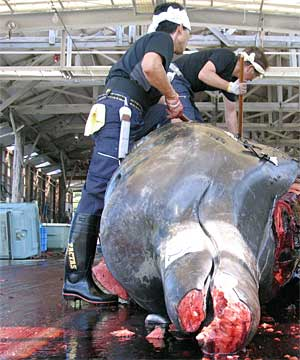 whaling in japan is resposible for the extiction o