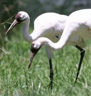whooping cranes 9